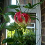 "flame lily (gloriosa superba ""Rothschildiana"")"