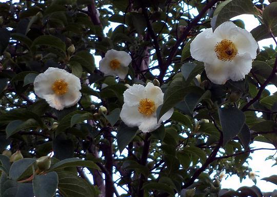 Stewartia pseudocamellia (Stewartia pseudocamellia)