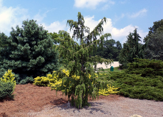 Juniperus rigidia 'Pendula' (Juniperus rigida (Needle Juniper))