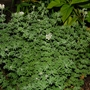 Dorycnium hirsutum (Dorycnium hirsutum (Hairy Canary Clover))