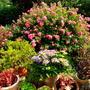 Rosa 'Flower Carpet'