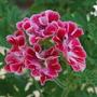 Pelagonium Madam Nonin...(unique) (Pelargonium Madam Nonin (unique))