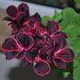 Pelargonium zonal.