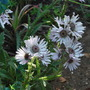 Berkheya purpurea..... (Berkheya purpurea)