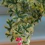 Pelargonium unique.