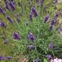 Lavandula angustifolia'Hidcote' (English Lavender) planted 2 years ago (Lavandula angustifolia Hidcote)