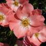 CORAL FLOWER CARPET ROSE