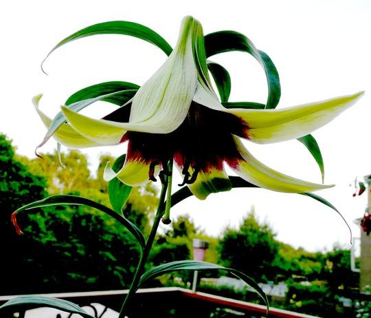 Lilium Nepalensis