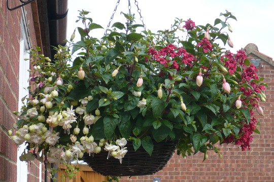 mixed basket of white,pink fuschsia and red diasica