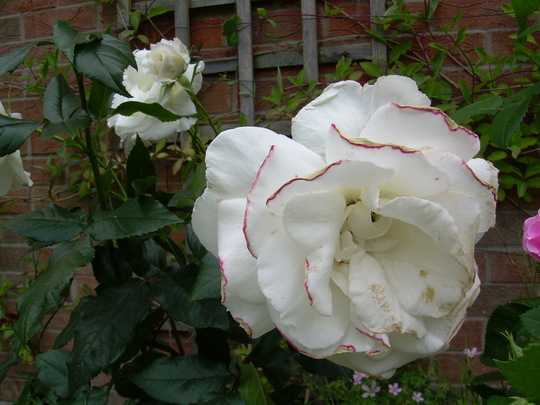 Pink frilled Silver Anniversary Rose