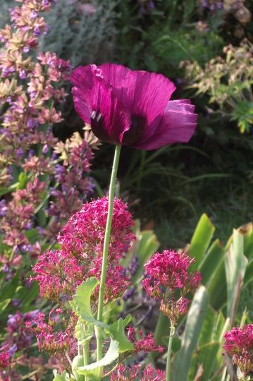 opium poppy (Papaver rhoeas (Corn poppy))