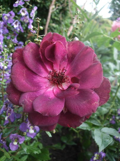 Rosa 'Burgundy Ice' (Rosa)