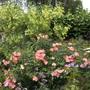 ROSA CORAL FLOWER CARPET