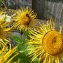 Inula magnifica flowers.  (Inula magnifica)