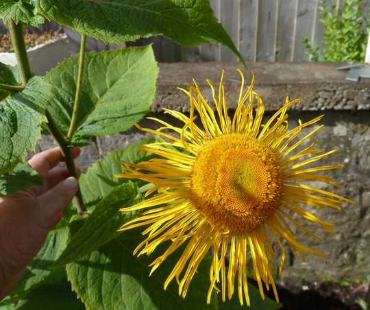 Inula magnifica flower close up.  (Inula magnifica)