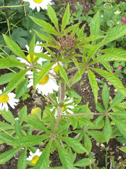 Spider Flower .....