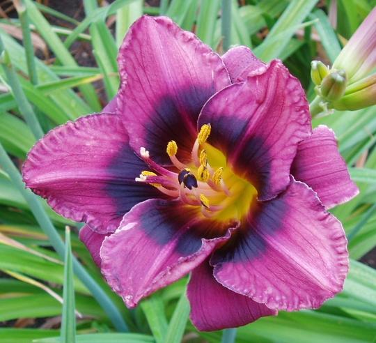 Daylily 'Black Eye' (Hemerocallis)