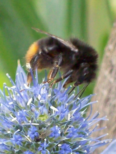Bumble On Sea Holly