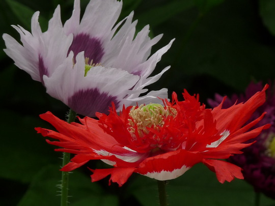 For Amy ~ Monet's garden Poppies (Papaver)