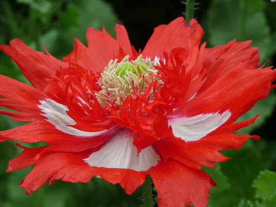 Gorgeous Poppy (papaver)