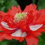 Gorgeous Poppy (papaver)