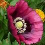 Dusky Poppy (papaver)