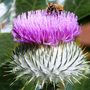 Scotch_thistle_2