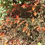 Zauschneria californica (Zauschneria californica)