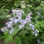 Hydrangea_serrata_bluebird_2013