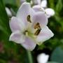 Hosta 'Big Daddy' flower close-up (Hosta sieboldii)