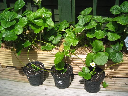 New Strawberry plants