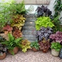 Heuchera corner at its best for a long time