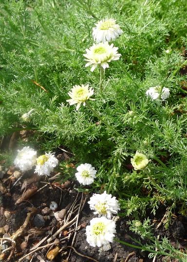 Chamaemelum nobilis 'Flore Pleno' - 2013 (Chamaemelum nobilis)