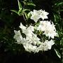 Solanum jasminoides 'Album' (Solanum jasminoides)