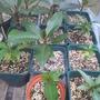 Plumeria seedlings