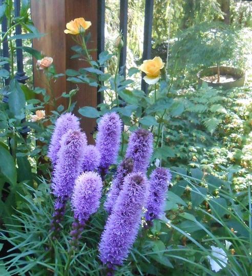 Plants in the pot on the deck (Liatris spicata 'Kobold Original')