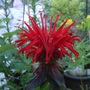 Monarda (bergamot or bee balm) single flower