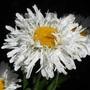"Shasta daisy with an attitude (Leucanthemum x superbum""sundrift"")"