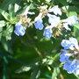Salvia uliginosa (Salvia uliginosa)