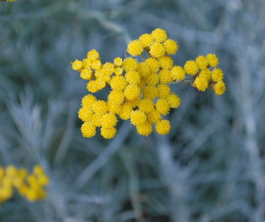 Helichrysum italicum...Korma!! (Helichrysum italicum (Curry Plant) Korma.)