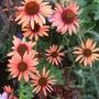 Echinacea_purpurea_sundown_