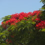 Delonix regia - Royal Poinciana, Gulmohar Tree