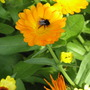 Marigold with bee.