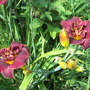 "Daylily ""Night Embers"""