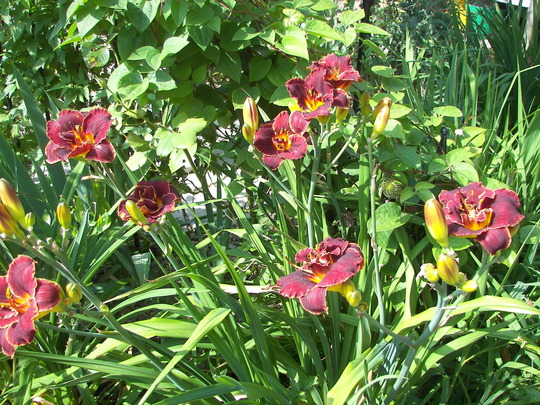 Daylily Night Embers, group