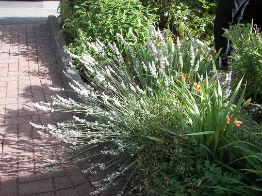 Lavender - white