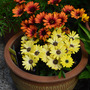Osteospermum_ecklonis_yellow_and_fire.