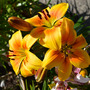 Lily_deep_golden_yellow