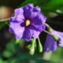 Kangaroo Apple...Solanum laciniatum (Solanum laciniatum (Kangaroo Apple))
