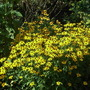 Rudbeckia fulgida 'Goldsturm' (Rudbeckia fulgida)